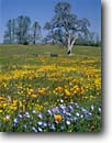 Stock photo. Caption: California poppies, baby blue-eyes  and California goldfields Shell Creek Valley,  South Coast Ranges San Luis Obispo County,  California -- Nemophila menziesii atomaria Eschscholzia californica Lasthenia californica flowers wildflower wildflowers united states america oaks spring rural pastoral idylic fresh harbinger soft solitude harmony landscape landscapes