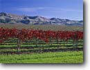 Stock photo. Caption: Vineyard Santa Lucia Mountains San Luis Obispo County California -- united states america landscape landscapes wine grapes vineyards agriculture ranch farm autumn fall vines central valley