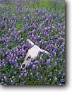 Stock photo. Caption: Cow skull and lupines Los Padres National Forest   near Mission San Antonio South Coast Ranges,  California -- united states america central valley coast range lupine bones skulls contrast cattle cows remains skeleton skeletons