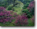 Stock photo. Caption: Redbud and buckeye Merced River Canyon Sierra Nevada Foothills Mariposa County, California -- tree trees shrub shrubs flowers redbuds forests rushing united states america canyons red redbuds foothill  buckeyes woodland woodlands verdant spring
