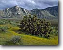 Stock photo. Caption: Joshua tree South Fork Kern River Valley Sierra Nevada California -- united states america spring landscape landscapes solitude spiritual sierras foothills trees mountain mountains southern