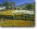 Stock photo. Caption: Fiddlenecks, popcornflowers and valley oaks,  Deer Creek Valley Sierra Nevada Foothills Tulare County,  California -- flower flowers wildflowers wildflower united foothill foothills american fields field blue sunny clear skies spring soft sierras Amsinckia intermedia plagiobothrys nothofulvus scenic scenics landscape landscapes backroads backroad fences pastoral rural