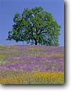 Stock photo. Caption: Popcornflowers, fiddlenecks, blue  dicks and valley oaks  near Fountain Springs Sierra Nevada Foothills Tulare County,  California -- flower flowers wildflowers wildflower united states america foothill foothills american fields field blue sunny clear skies spring soft sierras Amsinckia intermedia plagiobothrys nothofulvus scenic scenics landscape landscapes Dichelostemma capitatum
