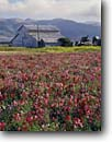 Stock photo. Caption: Sweet pea fields   near Lompoc Santa Barbara County California -- flowers flower cultivated cultivate ornamental seed barn barns united states america farm field agriculture multi colored building buildings barn barns southern peas crop crops seeds grown fields scenic scenics landscape landscapes spring sunny clear
