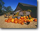 Stock photo. Caption: Pumpkins and rooster San Luis Obispo County Central Coast California -- united states america pumpkin autumn fall roosters barnyard animal animals decoration holiday decorations pastoral barn barns americana roadside attractions