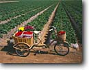 Stock photo. Caption: Strawberry fields Santa Maria Santa Barbara County California -- united states america bike bikes bicycle bicycles old fashioned strawberries field row fruit fruits berry berries agriculture farming harvest red berries