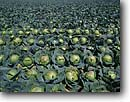Stock photo. Caption: Cabbage crop Guadalupe Santa Barbara County California -- united states america  field row agriculture farming harvest cabbages farm farms round pattern patterns background backgrounds edible food crops vegetable vegetables