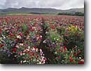 Stock photo. Caption: Sweet peas Los Osos Valley San Luis Obispo County California -- united states america  field row agriculture farming harvest farm farms crops flower flowers ornamental crop