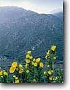 Stock photo. Caption: Tree poppy Laguna Mountains Cleveland National Forest California -- landscape landscapes scenics scenic poppies poppys canyon sunny clear dendromelon rigida native plant plants flora endemic coastal wildflower wildflowers flowers flower yellow spring