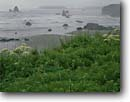 Stock photo. Caption: Cow parsnip above Houda Point Beach   and Trinidad Head Trinidad Humboldt County,  California -- beaches seastacks pacific ocean coast united states america seastack west coasts seascape seascapes travel tourist destination destinations headland headlands shoreline shorelines coastal spring beach Heracleum lanatum wildflower wildflowers flower flower