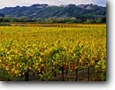 Stock photo. Caption: Vineyards along Dry Creek Road Dry Creek  Valley North Coast Ranges Sonoma County,  California -- wine country autumn fall rural crops grape grapes agriculture vine countryside beauty farming farm united states america rural pastoral bountiful autumn fall color  colors colour colours