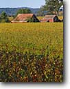 Stock photo. Caption: Vineyards,  Red Winery Road Alexander  Valley North Coast Ranges Sonoma County,  California -- wine country autumn fall rural crops grape grapes agriculture vine countryside beauty farming farm united states america rural pastoral bountiful barn barns fall color colors colour colours autumn