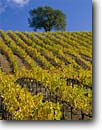 Stock photo. Caption: Vineyards along Highway 128 Alexander  Valley North Coast Ranges Sonoma County,  California -- wine country autumn fall rural crops grape grapes agriculture vine countryside beauty farming farm united states america rural pastoral bountiful barn barns fall color colors colour colours autumn