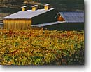 Stock photo. Caption: Vineyards and barn near Geyserville Alexander  Valley North Coast Ranges Sonoma County,  California -- wine country autumn fall rural crops grape grapes agriculture vine countryside beauty farming farm united states america rural pastoral bountiful barn barns fall color colors colour colours autumn  building buildings