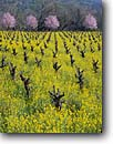 Stock photo. Caption: Mustard and plum in vineyards    near Calistoga Napa Valley Wine District Napa County,  California -- wine country spring rural crops grape grapes agriculture vine countryside beauty farming farm united states flowering rural pastoral bountiful getaway tourist destination destinations landscape landscapes rows vines winery vineyard artistic nature balance