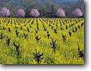 Stock photo. Caption: Mustard and plum in vineyards    near Calistoga Napa Valley Wine District Napa County,  California -- wine country spring rural crops grape grapes agriculture vine countryside beauty farming farm united states america rural pastoral bountiful getaway tourist destination destinations landscape landscapes rows vines winery vineyard artistic nature balance
