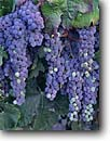 Stock photo. Caption: Cabernet grapes   near Calistoga Napa Valley Wine District Napa County,  California -- wine country rural crops grape grapes agriculture vine countryside beauty farming farm united states america rural pastoral bountiful getaway tourist destination destinations closeup closeups vines winery vineyard detail details harvest