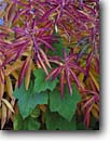 Stock photo. Caption: Fireweed and thimbleberry Tioga Road Yosemite National Park Sierra Nevada,  California -- leaf leaves leafs detail details closeup closeup fall autumn color colors contrast parks mountains united states america background backgrounds artistic nature