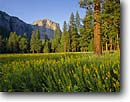 Stock photo. Caption: Meadow goldenrod and El Capitan Yosemite Valley Yosemite National Park Sierra Nevada,  California -- united states america landscape landscapes  sierras  meadow meadows world heritage site sites wildflower wildflowers sweet serene summer