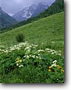 Stock photo. Caption: Cow Parsnip near Maroon Lake   and the Maroon Bells Elk Mountains Rocky Mountains,  Colorado -- flower flowers wildflowers wildflower white river national forest forests united states america summer rockies highcountry meadow meadows Heracleum lanatum snowcapped peaks snow rainstorm rainstorms rain thunderstorm thunderstorms