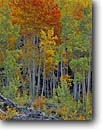 Stock photo. Caption: Aspen near Scout Lake Lime Creek Road San Juan National Forest San Juan Mountains, Colorado -- aspen fall autumn color colors foliage landscape landscapes dramatic rockies grove groves pristine inspirational  trees leaves patches transition tree golden orange spruces artistic nature brilliant color colors sweet widsom shifting scenic scenics