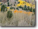 Stock photo. Caption: Aspens and blue spruce South Fork San Miguel River Valley San Juan Mountains Rocky Mountains,  Colorado -- aspen fall autumn color colors foliage united states america landscape landscapes dramatic rockies grove groves pristine inspirational naked trees leafles patches transition tree golden orange spruces artistic nature