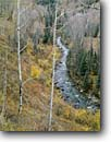 Stock photo. Caption: Aspens and blue spruce South Fork San Miguel River San Juan Mountains Rocky Moutains,  Colorado -- aspen fall autumn color colors late  united states america landscape landscapes rockies grove groves pristine inspirational naked trees leafless creek rivers mountain