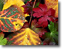 Stock photo. Caption: Aspen and geranium leaves Dallas Creek Meadows Uncompahgre National Forest San Juan Mountains Colorado -- Aspens purple geranium leaves East Fork Mountains Colorado rocky fall autumn color colors detail details closeup closeups artistic nature