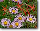 Stock photo. Caption: Scarlet gilia and showy daisy Ruby Range Gunnison National Forest Rocky Mountains,  Colorado -- Erigeron speciosus wildflowers wildflower flower flowers orange daisies wild sweet Ipomopsis aggregata round circle circles rays composite composites detail details closeup closeups gilias
