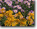 Stock photo. Caption: Sneezeweed and showy daisy West Elk Mountains Gunnison National Forest Rocky Mountains,  Colorado -- united states america Helenium hoopesii Erigeron speciosus wildflowers wildflower flower flowers orange meadow garden wild sweet yellow daisies summer composites detail details closeup closeups sneezeweeds