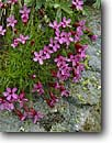 Stock photo. Caption: Moss campion San Juan National Forest San Juan Mountains Colorado -- united states america wildflowers wildflower flower flowers tiny purple garden wild sweet Silene acaulis closeup closeups detail details alpine mountain pink campions