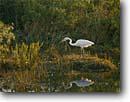 Stock photo. Caption: White phase great blue heron Anhinga Trail Everglades National Park The Everglades,  Florida -- united states american bird birds world heritage site sites hunting herons parks birdwatching birdwatch reflection reflections wading