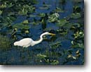 Stock photo. Caption: Great egret Anhinga Trail Everglades National Park Florida -- united states american bird birds world heritage site sites hunting egrets lilly lily pads parks birdwatching birdwatch reflection reflections wading