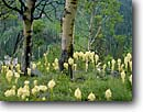 Stock photo. Caption: Beargrass and aspens Payette Crest Payette National Forest Rocky Mountains,  Idaho -- flowers flower summer mountain united states america Xenophyllum tenax granite aspen wildflower wildflowers tree trees forests bear grass grasses summer rockies meadow meadow scenic scenics landscape landscapes