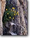 Stock photo. Caption: Subalpine arnica Sawtooth Wilderness Sawtooth Range Rocky Mountains, Idaho -- flowers flower wildflower wildflowers summer mountain united states america granite niche survival tenacity hope Arnicas rydbergii rockies closeup closeups detail details composite cpmposites