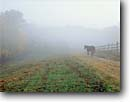 Stock photo. Caption: A horse walks down a path to join other horses during morning fog Brown County Indiana -- Keywords: country united states america forest forests tree trees fall fences fields bucolic pastoral rural ranch ranches farms farm ranching foliage midwestern midwest family horses livestock animal animals peaceful quiet moments moment road roads paths