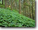 Stock photo. Caption: Ferns provide groundcover   on a slope with pine trees Brown County State Park Brown County, Indiana -- Keywords: country united states america forest forests tree trees rural midwestern midwest spring verdant parks destinations destination attraction attractions  tourist family travel fern groundcovers green