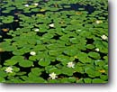 Stock photo. Caption: Fragrant water lily Acadia National Park Mount Desert Island Maine,  New England -- united states america background backgrounds artistic nature color colours colour parks lilies pads flower flowers wildflower wildflowers pond ponds detail details Nymphaea odorata