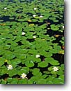 Stock photo. Caption: Fragrant water lily Acadia National Park Mount Desert Island Maine -- united states america background backgrounds artistic nature color colours colour parks lilies pads flower flowers wildflower wildflowers pond ponds detail details circle circles round