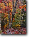 Stock photo. Caption: Sugar maple and paper birch   near Duck Brook Road Acadia National Park Mount Desert Island, Maine -- Keywords: united states america parks fall autumn new england leaves color colors colours colour hardwood forest northern northeastern maples birches Betula papyrifera Acer saccharum
