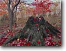 Stock photo. Caption: Burnt stump with red maple     and paper birch Acadia National Park Mount Desert Island, Maine -- Keywords: united states america parks fall autumn new england leaves color colors colour colours hardwood forest northern Acer saccharum leafs leaves northeastern