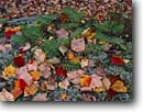 Stock photo. Caption: Red maple leaves and common polypody    below Western Mountain Acadia National Park Mount Desert Island, Maine -- Keywords: united states america parks fall autumn new england leaves color colors colour colours hardwood forest northern closeup closeups detail details fern ferns Polypodium vulgare virginianum