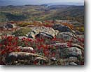 Stock photo. Caption: Wild blueberry in autumn    near summit of Cadillac Mountain Acadia National Park Mount Desert Island, Maine -- Keywords: united states america parks fall autumn new england leaves color colors colour colours blueberries hardwood forest northern northeastern granite outcroppings seascape seascapes landscape landscapes