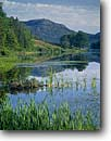 Stock photo. Caption: Cattails in Long Pond     and Penobscot Mountain     in Acadia National Park Mount Desert Island, Maine -- Keywords: united states america parks eastern east atlantic seaboard england spring lakes lake ponds wetland wetlands riparian habitat landscape landscapes mountains water quiet places calm serence serenity scenics scenic views cattail native plants plant