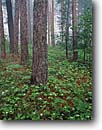 Stock photo. Caption: Red pines and bunchberry Minnesota Point Forest Duluth, St. Louis County Minnesota -- tree trees pine clouds united states america forest forests trunk trunks spring summer flowers wildflowers dogwood cornus dogwoods fog foggy mist misty landscapes landscape verdant pure purity midwest midwestern upper north woods woodland