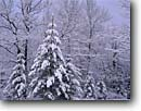 Stock photo. Caption: Red pines and red oaks Moose Lake Carlton County Minnesota -- tree trees united states america forest forests landscapes landscape   midwest midwestern upper north woods  snow snowy covered winter northern hardwood winter snowing