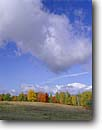 Stock photo. Caption: Birch and maples Moose Lake Township Carlton County Minnesota -- tree trees united states america forest forests midwest midwestern upper north woods autumn fall color colour colours colors towering crisp blue sky skies