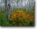 Stock photo. Caption: Paper birch & interrupted fern Gooseberry Falls State Park North Shore Lake Superior Minnesota -- Keywords: birches ferns parks trees tree northern hardwood forest forests fall autumn color colors great lakes united states america cloudy foggy fog  landscape landscapes calm tranquil growth woodland woodlands white trunks