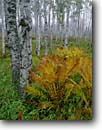Stock photo. Caption: Paper birch and interrupted ferns Gooseberry Falls State Park North Shore Lake Superior Minnesota -- birches fern parks trees tree northern hardwood forest forests fall autumn color colors great lakes united states america cloudy foggy landscape landscapes calm tranquil growth woodland woodlands white trunks scenic scenics scenes scene