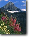 Stock photo. Caption: Fireweed and Reynolds Mountain Logan Pass Glacier National Park Rocky Mountains,  Montana -- rockies flowers wildflowers wildflower united states parks subalpine world heritage site sites america flower peaks peak mountains Epilobium angustifolium summer splendor travel tourist destination destinations holiday vacation fireweeds going sun highway
